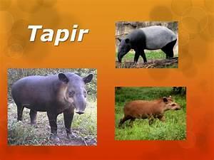 Animal En G : animal en peligro de extinci n tapir ~ Melissatoandfro.com Idées de Décoration