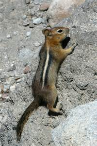 Ground Squirrel Hibernation