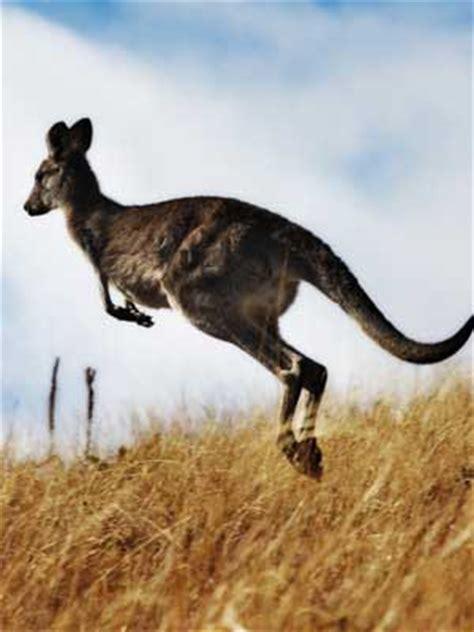 types  kangaroos kangaroo facts  information