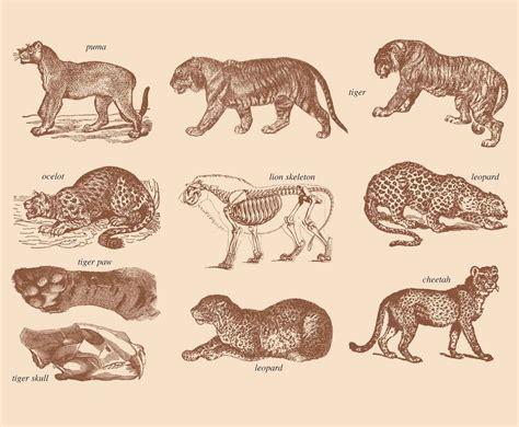 big cats drawings vector art graphics freevectorcom