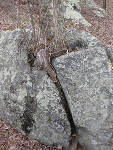 Root Wedging Examples From Maryland And Texas Mountain