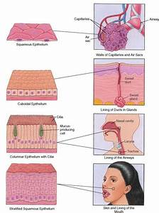 Epithelium  Surfaces Of The Body  Shows The Different