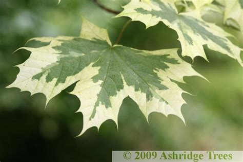 acer platanoides drummondii  sale ashridge trees