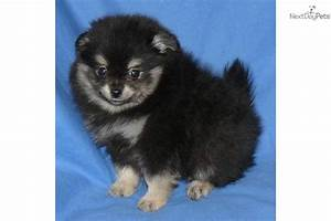 Meet Poppy a cute Pomeranian puppy for sale for $900. Rare ...