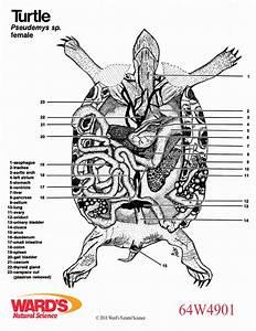 Turtle Heart Anatomy