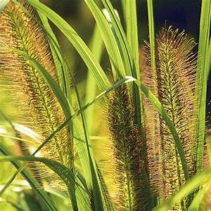 Pennisetum alopecuroides Moudry liner trays from Santa ...