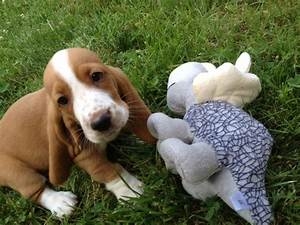 Basset Hound Beagle Mix Puppies With Toys | Animals ...