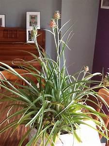Plant D Ananas : pineapple plant produces 7 fruits home and garden ~ Melissatoandfro.com Idées de Décoration