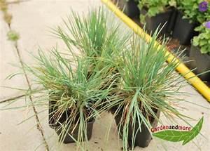 Pflanzen Für Trockene Schattige Standorte : 3 gr ser f r trockene standorte blaues schillergras ~ Michelbontemps.com Haus und Dekorationen