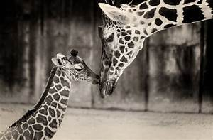 2 week old baby giraffe with mom photo - apicfor.me