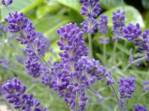 soil type for lavender main types of lavender for your garden snaplant com