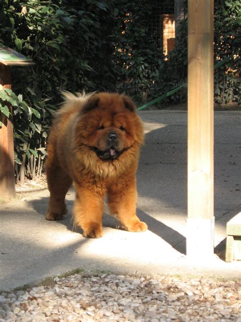 Fileimg  Chow Chow Front Jpg Wikimedia Commons