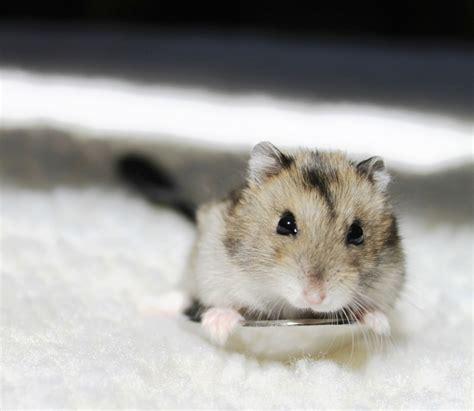 baby hamsters baby dwarf hamster fuzzbutts pinterest