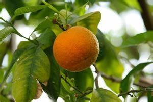 Dünger Für Zitronenbaum : mandarinenbaum pflege schneiden und berwintern ~ Watch28wear.com Haus und Dekorationen