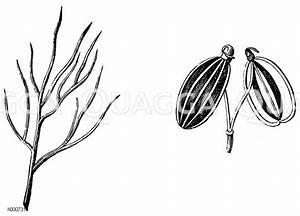 Schnell Wachsender Busch : fenchel pflanzen fenchel pflanzen hilfreiche tipps f r ~ Lizthompson.info Haus und Dekorationen