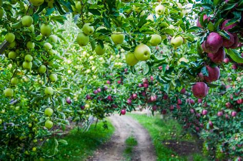 apple washington apples tree orchard orchards golden varieties industry growing export farmers tariffs imposed farm delicious facts agriculture growers crop