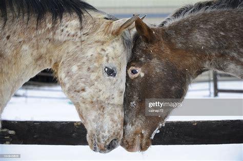 appaloosa horses heads touching looking horse each head eye eyes side istock res appaloosas gettyimages