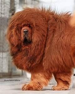 91 best images about Tibetan Mastiffs on Pinterest | Chow ...