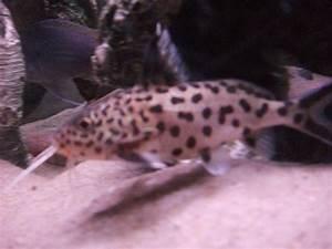 cichlids.com: Leopard Catfish