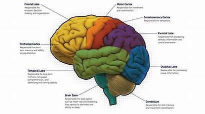 Brain Mapping Function Cognitive Learn