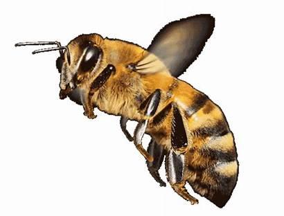 Honey Bees Animated Bee