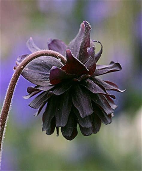 black columbine flower aquilegia vulgaris black barlow buy online at annie s annuals