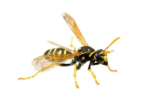 bees  wasps  hornets  yellow jackets whats
