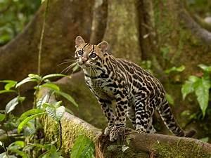 Ocelot in the Amazon Rainforest, Ecuador | Webshots ...