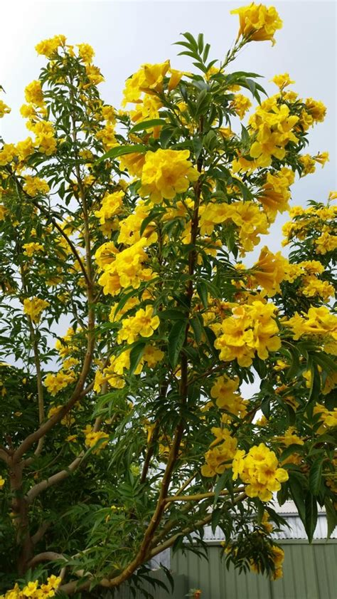 tree with yellow flowers yellow flowering tree