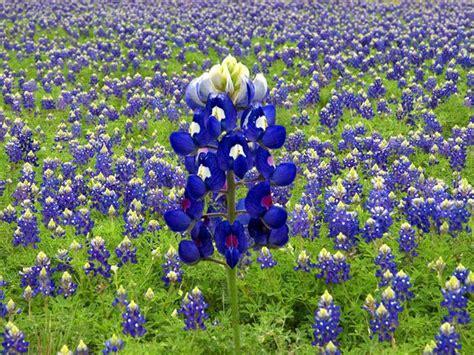 what is a bluebonnet bluebonnet flower luv pinterest