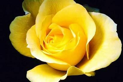Yellow Rose Roses Yellowrose Tea Thursday August