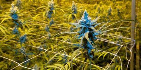 construction chambre de culture la culture de cannabis explose en wallonie dh be