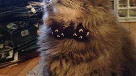 cat wearing  dr  fez  bow tie
