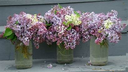 Lilac Background Desktop Wallpapers Valley Shenandoah Bouquet