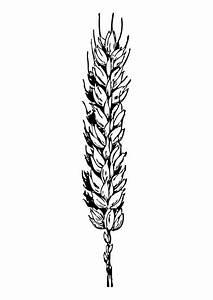 Malvorlage, Weizen
