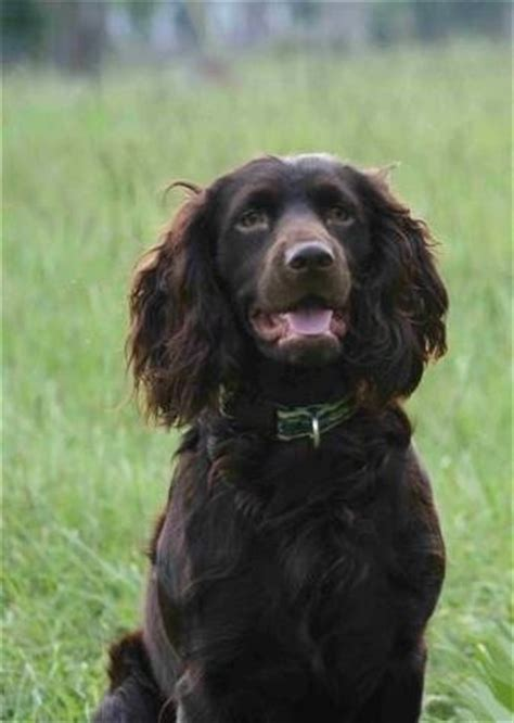 Do Boykin Spaniels Shed by 74 Best A Few Of My Favorite Things Images On