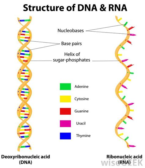 What Is The Role Of Rna In The Body? (with Pictures