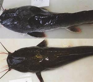 Body Condition Of Two African Sharptooth Catfish  Clarias Gariepinus