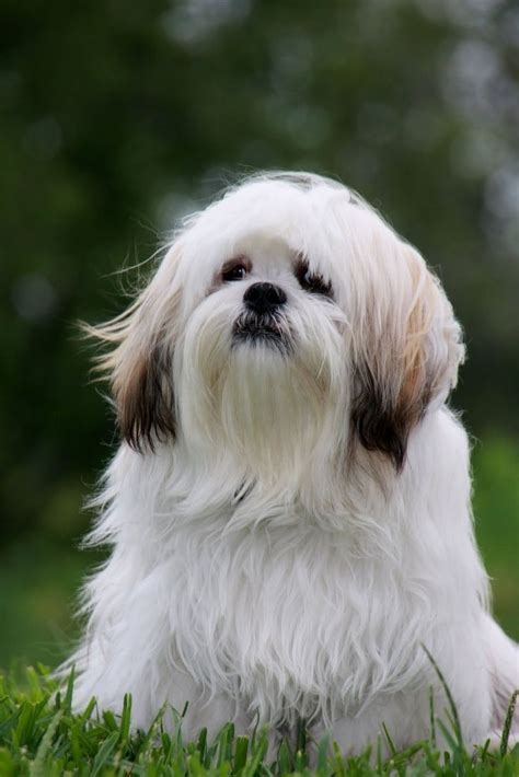 lhasa apso dog art portraits photographs information