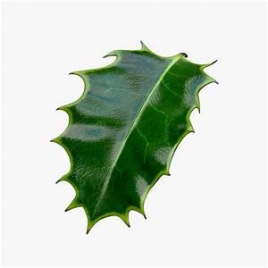 Related Keywords & Suggestions for Mistletoe Leaf