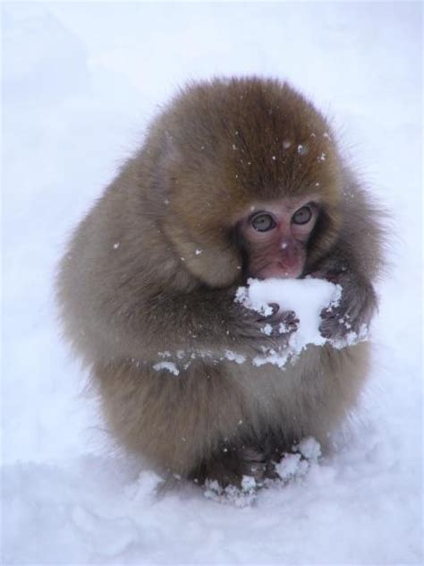 nihon zaru japanese macaque  snow monkey nihon