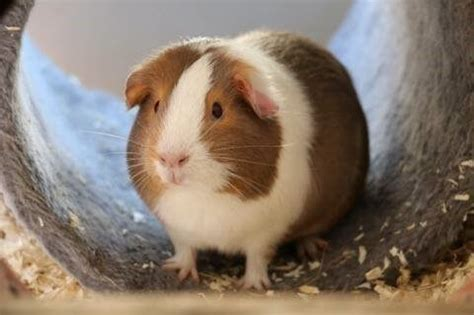 guinea pig breeds colors  markings  vetstream
