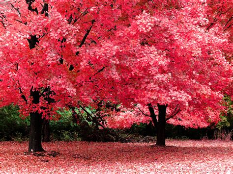 blossomed tree wallpapers trees wallpapers