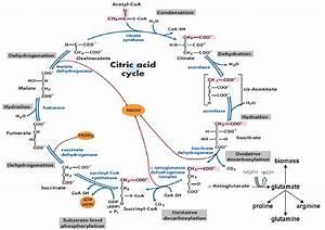 Krebs Cycle    Citric Acid    Tricarboxylic Acid Cycle  Tca
