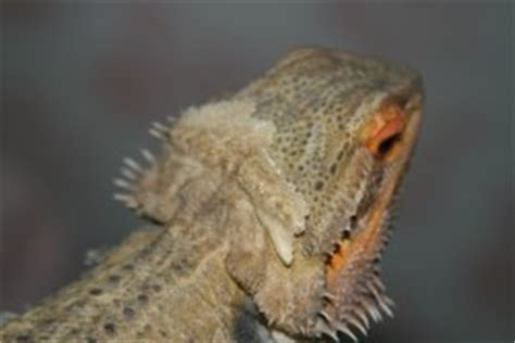 bearded dragon behaviour