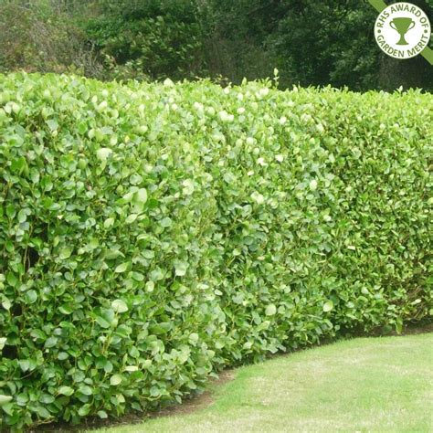 hedge gardens perfect griselinia hedge garden pinterest griselinia hedge gardens and garden ideas