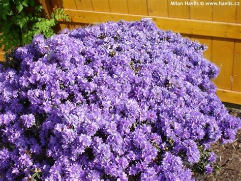 evergreen flowering shrubs for sun rhododendron impeditum havlis cz