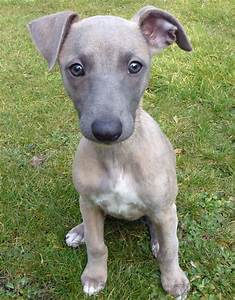 Whippet Puppies on Pinterest Whippets, Whippet Dog and