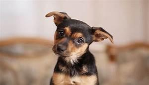 apartment friendly dog breeds