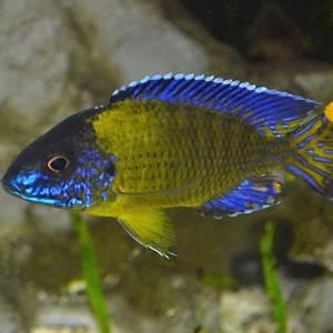 Blue Neon Peacock 7 8cm Aquatics To Your Door